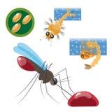 Étapes du développement d'un moustique Photographie stock