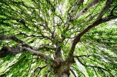 Étendue d'un grand arbre image stock