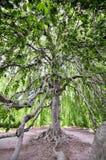 Étendue d'un grand arbre photographie stock