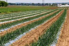 Étendue de champ avec des rangées des légumes travaillant leur manière par la terre photo stock