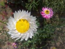 Éternel, bracteatum de Strawflower Xerochrysum Image stock