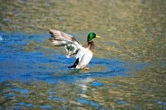 Étirage du canard Image libre de droits
