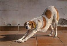 Étirage du chien Photographie stock libre de droits