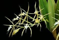 Étoile d'orchidée photographie stock libre de droits