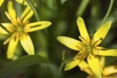 Étoile-de-Bethlehem jaune Photographie stock