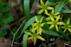 Étoile-de-Bethlehem jaune dans le printemps Images stock
