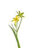 Étoile-de-Bethlehem jaune (lutea de Gagea) Photos libres de droits