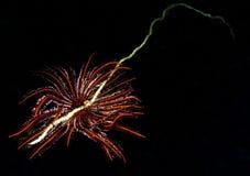 Étoile de clavette sur le fouet de mer verte Photographie stock