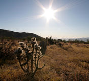 Étoile de désert Photo stock
