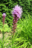 Étoile de flambage dense (spicata de Liatris) Photo stock