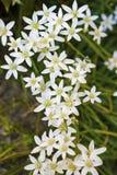 Étoile de fleurs d'Ornithogalum de Bethlehem Images libres de droits