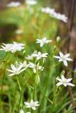 Étoile de fleurs d'Ornithogalum de Bethlehem Photo libre de droits