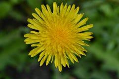 Étoile de floraison images stock