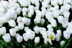 Étoile de l'Alaska de tulipes photos stock