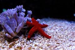 Étoile de la Mer Rouge - milleporella de Fromia Photos libres de droits