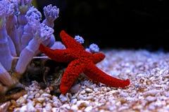 Étoile de la Mer Rouge - milleporella de Fromia Photos stock