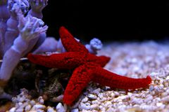 Étoile de la Mer Rouge - milleporella de Fromia Image stock