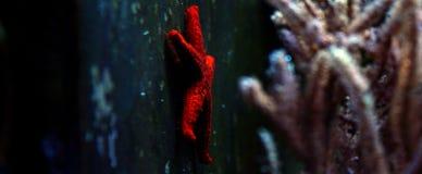 Étoile de la Mer Rouge - milleporella de Fromia Photographie stock libre de droits