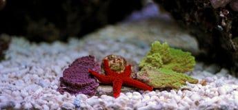 Étoile de la Mer Rouge - milleporella de Fromia Photo stock