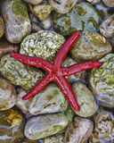 Étoile de la Mer Rouge sur la plage colorée de pebles Photographie stock libre de droits