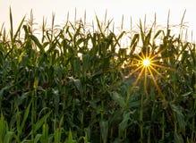 Étoile de maïs Image stock