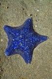 Étoile de mer de coussin photographie stock libre de droits