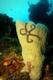 Étoile de mer de panier sur l'éponge dans la scène de récif coralien photographie stock libre de droits