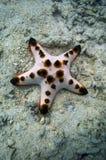 Étoile de mer de puce de chocolat Photos libres de droits