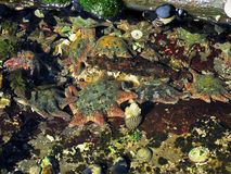 Étoile de mer de tapis, Patiriella calcar Image libre de droits