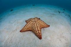 Étoile de mer des Caraïbes 2 Images stock