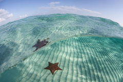 Étoile de mer des Caraïbes 3 Images libres de droits