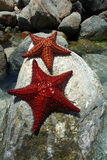 Étoile de mer sur des roches Images libres de droits