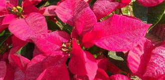 Étoile de Noël Arbres de Noël photos stock