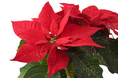 étoile de poinsettia de fin de Noël de fond vers le haut Photos stock