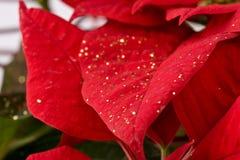étoile de poinsettia de fin de Noël de fond vers le haut Photographie stock libre de droits