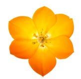 Étoile de Sun sur le fond blanc (lat Ornithogalum Dubium) Photo stock