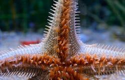 Étoiles de mer énormes rampant sur le verre de l'aquarium Image stock