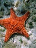Étoiles de mer aiguës oranges Photographie stock