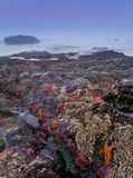 Étoiles de mer au crépuscule, côte de l'Orégon Photo libre de droits