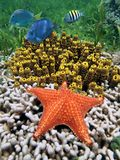 Étoiles de mer avec des éponges de tube dans un récif coralien Photo libre de droits