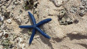 Étoiles de mer bleues Photographie stock