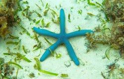 Étoiles de mer bleues sur le fond marin tropical Paysage sous-marin avec les étoiles de mer roses Images libres de droits