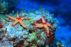 Étoiles de mer colorées Photographie stock
