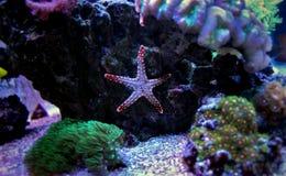 Étoiles de mer d'élégance de Fromia dans le réservoir de récif Image stock