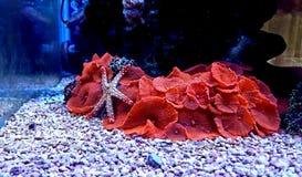 Étoiles de mer d'élégance de Fromia sur le corail de champignon rouge Photos libres de droits