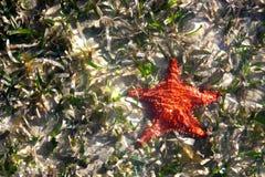 Étoiles de mer d'étoile de mer de coussin en eau peu profonde Images libres de droits