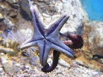 étoiles de mer d'hippocampe de baiser Images libres de droits