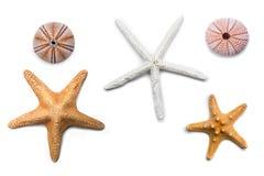 Étoiles de mer d'isolement Photo stock