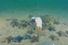 Étoiles de mer de coussin photographie stock libre de droits
