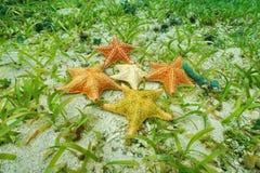 Étoiles de mer de coussin sous-marines avec différentes couleurs Photos stock